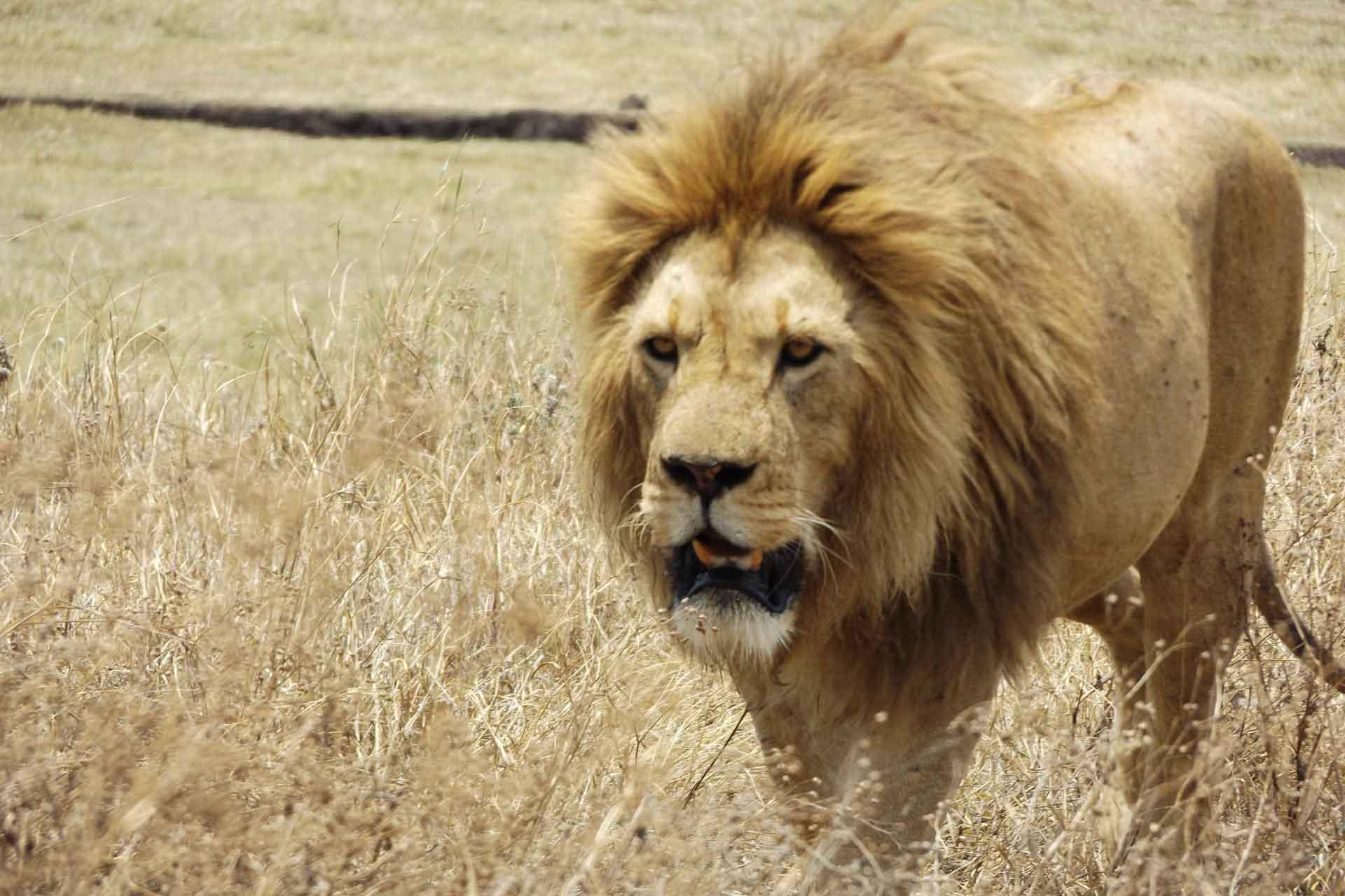 Simba-Safari